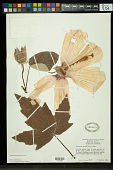 view Hibiscus grandiflorus Michx. digital asset number 1