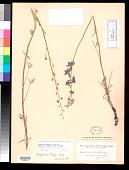 view Delphinium parishii subsp. subglobosum (Wiggins) H. Lewis & Epling digital asset number 1