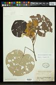 view Hibiscus pernambucensis Arruda digital asset number 1