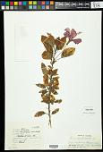 view Hibiscus rosa-sinensis var. rosa-sinensis L. digital asset number 1