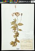 view Hibiscus rosa-sinensis var. schizopetalus Dyer digital asset number 1