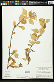 view Hibiscus syriacus L. digital asset number 1