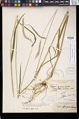 view Elymus ciliatus Scribn., nom. illeg. digital asset number 1