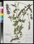 view Agastache mearnsii Wooton & Standl. digital asset number 1