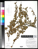 view Berberis papillifera (Franch.) Koehne digital asset number 1