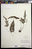 view Abrodictyum rigidum (Sw.) Ebihara & Dubuisson digital asset number 1