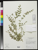 view Tetraclea coulteri A. Gray digital asset number 1