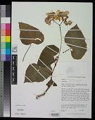 view Begonia minor Jacq. digital asset number 1
