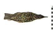 view European Starling, Common Starling digital asset number 1