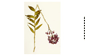 view Star Orchid digital asset number 1