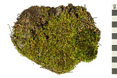view Dicranum Moss, Broom Moss digital asset number 1