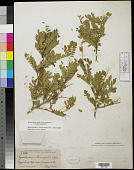view Eysenhardtia orthocarpa (A. Gray) S. Watson digital asset number 1