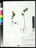 view Peperomia blanda var. floribunda (Miq.) H. Huber digital asset number 1