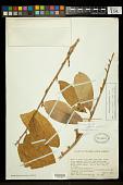 view Quararibea guianensis Aubl. digital asset number 1