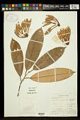 view Cullenia rosayroana digital asset number 1