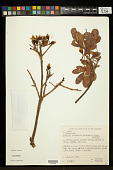 view Eriotheca candolleana (K. Schum.) A. Robyns digital asset number 1