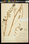 view Delphinium umbraculorum H. Lewis & Epling digital asset number 1