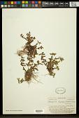 view Limnophila fragrans Seem. digital asset number 1
