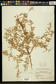view Oenothera pallida subsp. runcinata (Engelm.) Munz & W.M. Klein digital asset number 1