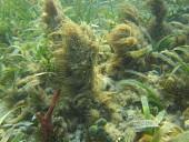 view Okeania hirsuta Engene digital asset number 1