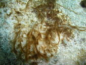 view Okeania lorea Engene et al. digital asset number 1