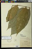 view Lonchocarpus nicou var. languidus F.J. Herm. digital asset number 1