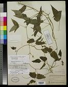 view Phaseolus acutifolius var. latifolius G. F. Freeman digital asset number 1