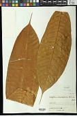 view Schefflera vasqueziana Harms digital asset number 1
