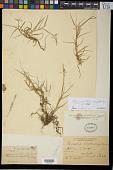 view Reimaria oligostachya Munro ex Benth. digital asset number 1