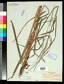 view Glyceria septentrionalis Hitchc. digital asset number 1