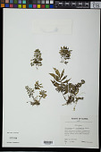 view Elatostema scabriusculum Setch. digital asset number 1