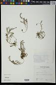 view Pilea microphylla (L.) Liebm. digital asset number 1