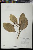 view Ficus elastica Roxb. digital asset number 1