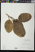view Ficus benghalensis L. digital asset number 1