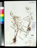 view Dichanthelium dichotomum (L.) Gould digital asset number 1