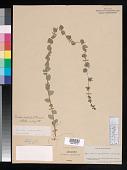 view Triodanis perfoliata (L.) Nieuwl. digital asset number 1