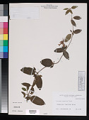 view Lonicera japonica Thunb. digital asset number 1
