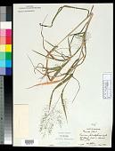 view Panicum philadelphicum Bernh. ex Trin. digital asset number 1