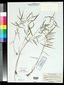 view Panicum dichotomum L. digital asset number 1