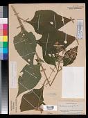 view Verbesina occidentalis (L.) Walter digital asset number 1