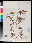 view Calystegia silvatica subsp. fraterniflora (Mack. & Bush) Brummitt digital asset number 1