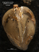 view Angulogerina eximia Cushman & Jarvis, 1936 digital asset number 1