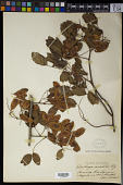 view Dalbergia frutescens (Vell.) Britton digital asset number 1