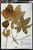 view Adansonia digitata L. digital asset number 1