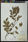 view Dalbergia melanocardium Pittier digital asset number 1