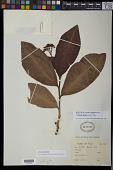 view Adenoropium ellipticum Pohl digital asset number 1