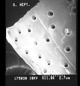 view Ostreopsis heptagona J.N. Norris et al. digital asset number 1