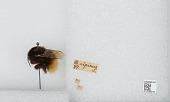 view Bombus (Alpinobombus) alpinus (Linnaeus) digital asset number 1