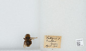 view Bombus (Psithyrus) ashtoni (Cresson, 1864) digital asset number 1
