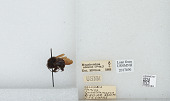 view Bombus (Fervidobombus) atratus Franklin, 1913 digital asset number 1